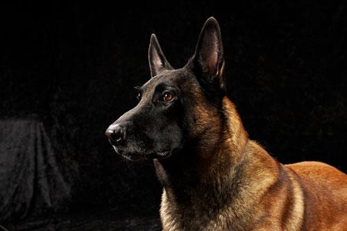 belgischerschaeferhund