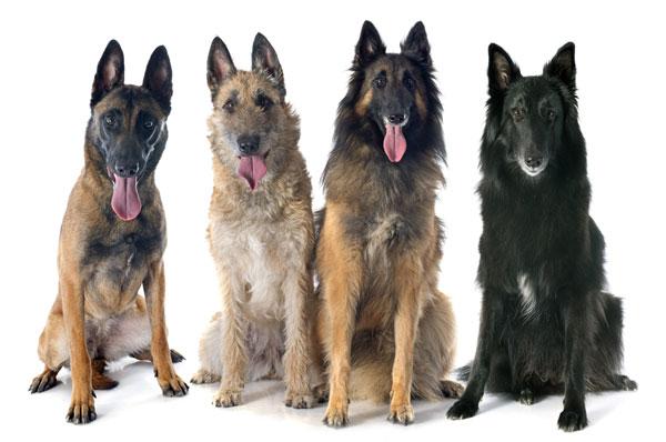die 4 Variationen des Belgischen Schäferhundes