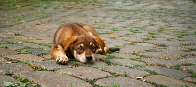 depression-Hund