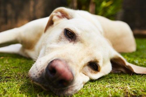 depression-beim-Hund