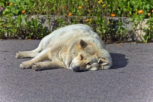 Adipositas-hund