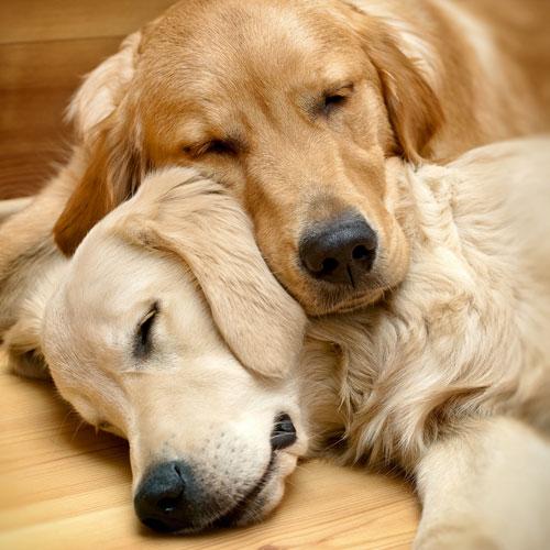 Hunde-schlafen