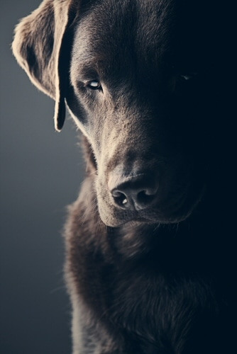 Sad Chocolate Labrador