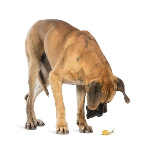 Durch Aufnahme befallener Schnecken infiziert sich der Hund