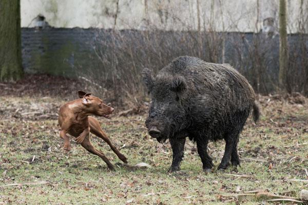 Ansteckungsgefahr bei Kontakt mit Wildschweinen!!!