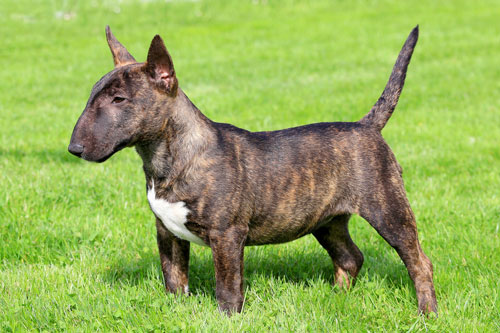 Miniature-Bull-Terrier2