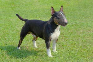 Miniature-Bull-Terrier