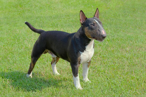 Miniature-Bull-Terrier3