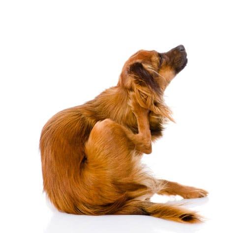 hirschlausfliege-hund