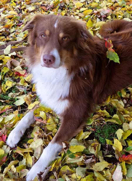 """von Anne: mein Australien Shepherd Scott..der einfach ein """"Herbsttyp"""" ist. Er wird im Dezember 4 Jahre"""
