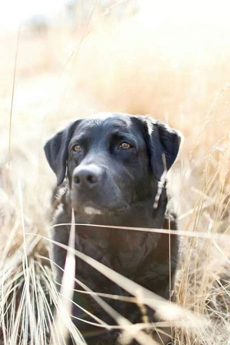 Labrador-im-Herbst2