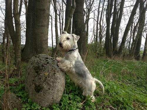 cesky-terrier-hell2