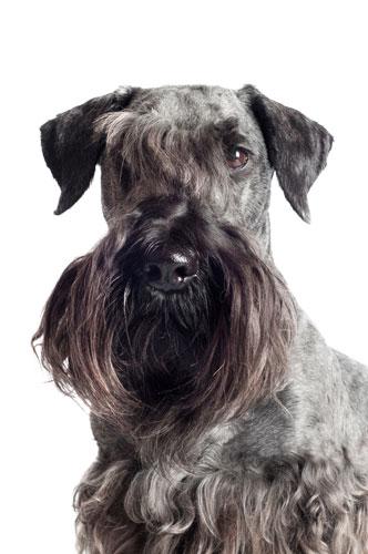 cesky-terrier-portrait