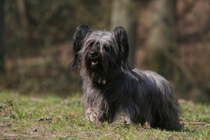 sky-terrier