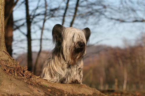 sky-terrier-hell