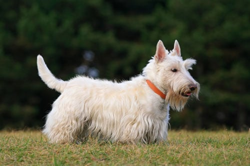 Scottish-Terrier-white