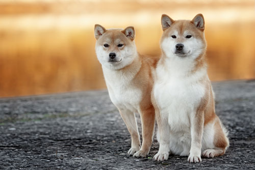 akita inu hunde. Black Bedroom Furniture Sets. Home Design Ideas