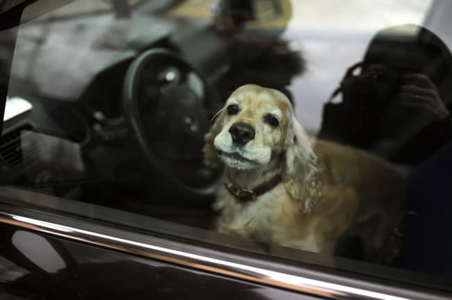 Hund im überhitzen Auto! Jetzt handeln!