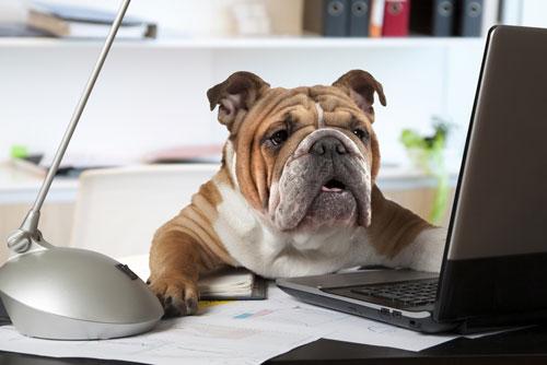 buerohund-bulldogge