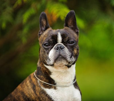 boston-terrier-gesicht