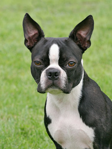 boston-terrier-sw