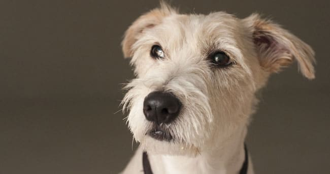 tauberhund