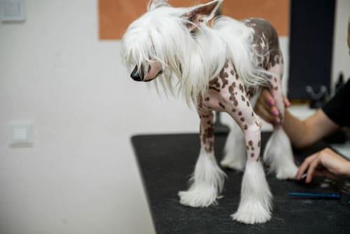 chinesischer-schopfhund-2