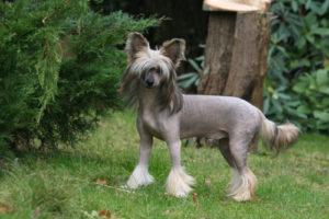 chinesischer-schopfhund
