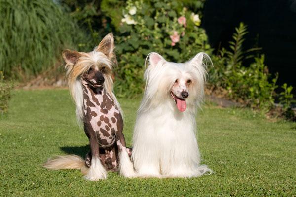 chinesischer-schopfhund-art