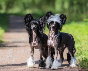 chinesischer-schopfhund-paa