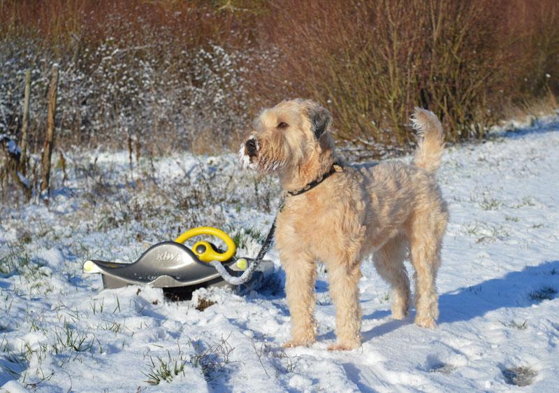 Franzi als Irish Soft Coated Wheaten Terrier verliert kein Fell, aber dafür muss man die wachsenden Haare regelmäßg schneiden. Sie hat keine Unterwolle, daher friert sie schnell im Winter, oder bekommt Sonnenbrand im Sommer, wenn das Haar zu kurz geschnitten ist.