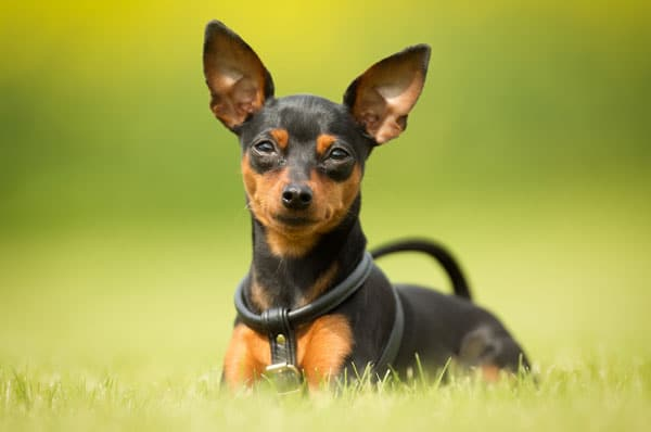 Mini Dog Breeds For Sale