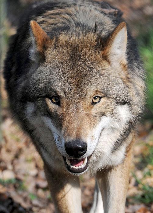 Wolf Pumpak darf nicht getötet werden. ⋆ Hunde