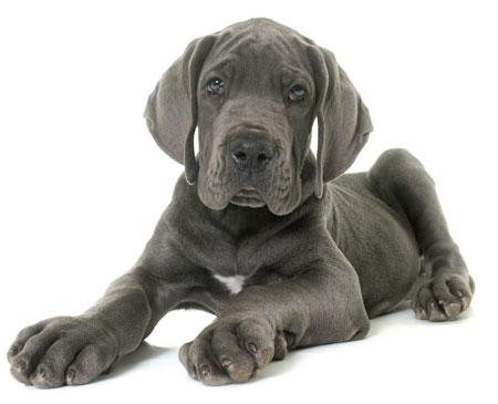 forschung warum gro e hunde k rzer leben hunde. Black Bedroom Furniture Sets. Home Design Ideas