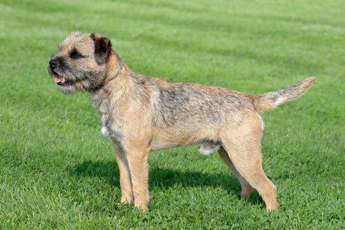 British Small Dog