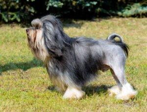 chinesischer palasthund