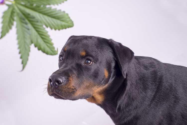 Cannabisöl für Hunde