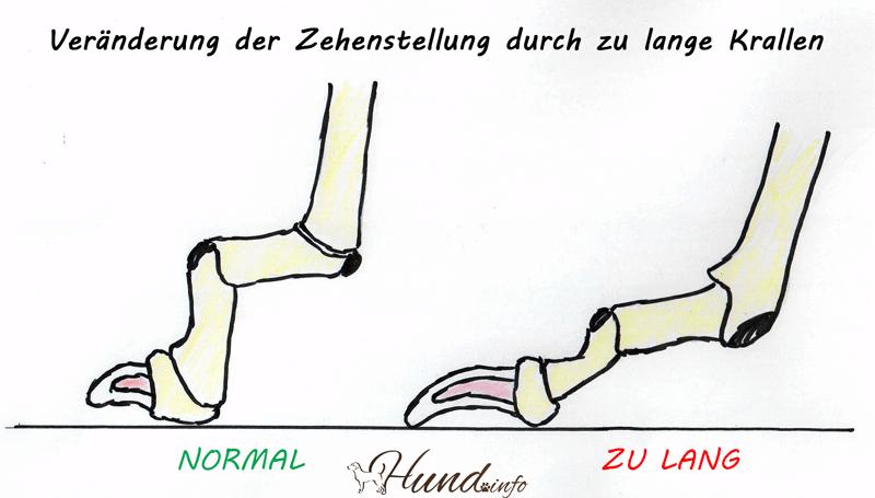 Veränderung der Zehenstellung durch zu lange Krallen