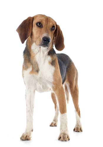 beagle harrier im Stand