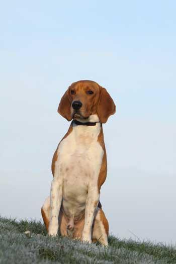 beagle harrier sitzend