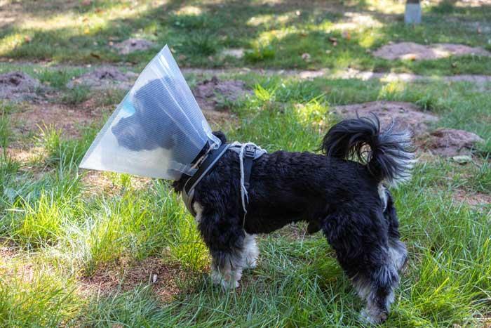 Halskrause beim Hund