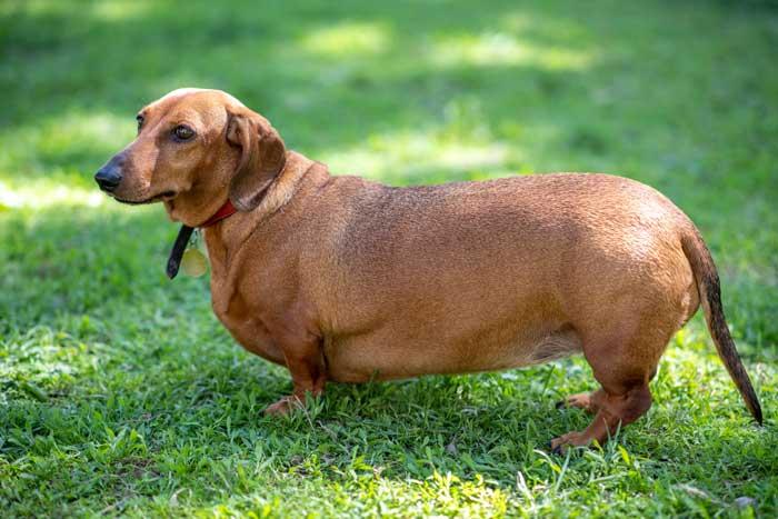 Hund viel zu dick