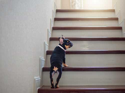 Bandscheiben vom Hund schonen und Treppen meiden