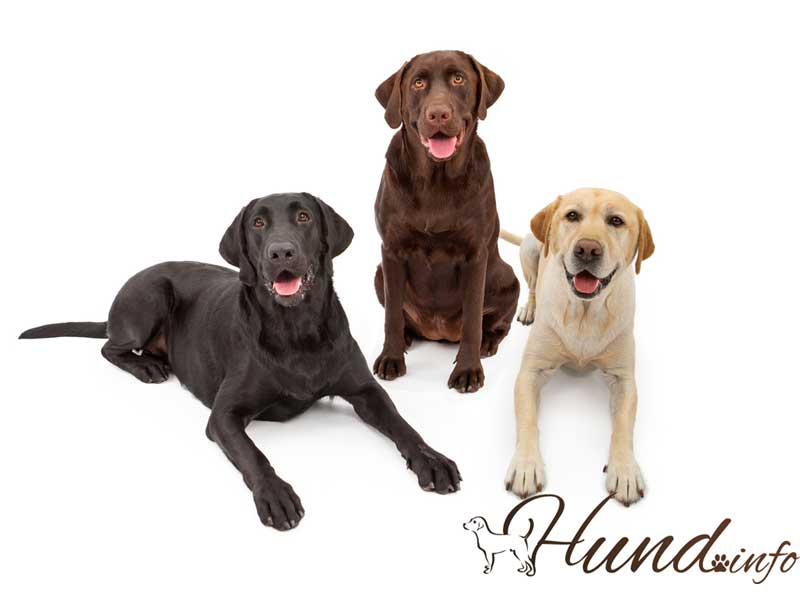 Drei Farben des Labrador Retriever