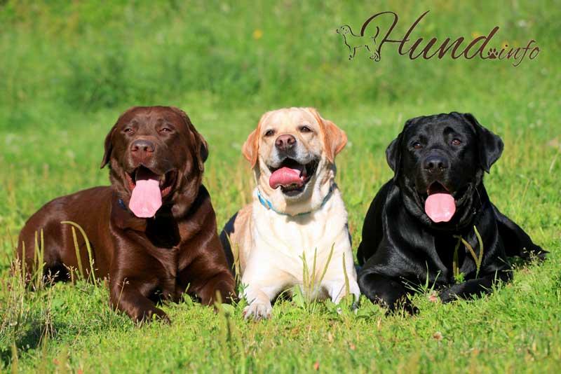 Drei Labrador Retriever Hunde auf dem Gras