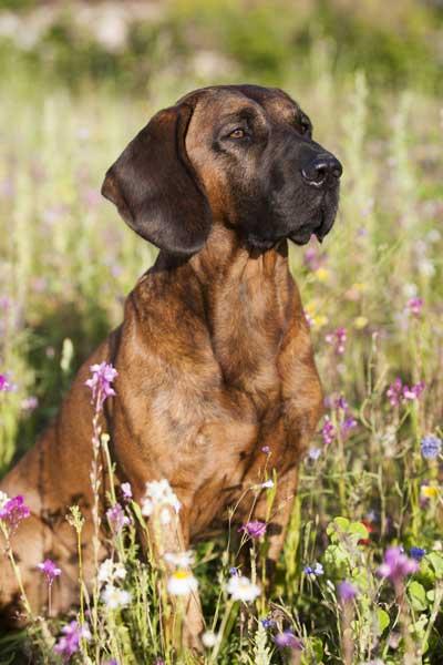 Hannoversche Schweißhund