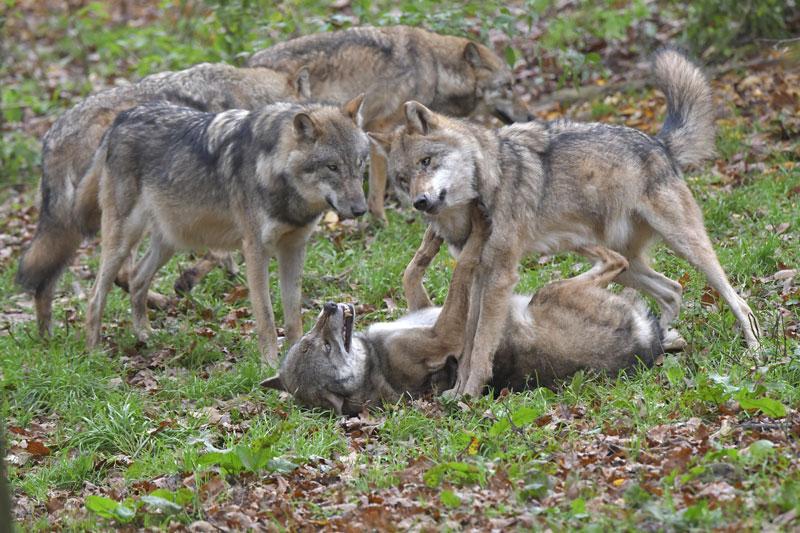 Alphawurf bei Wölfen