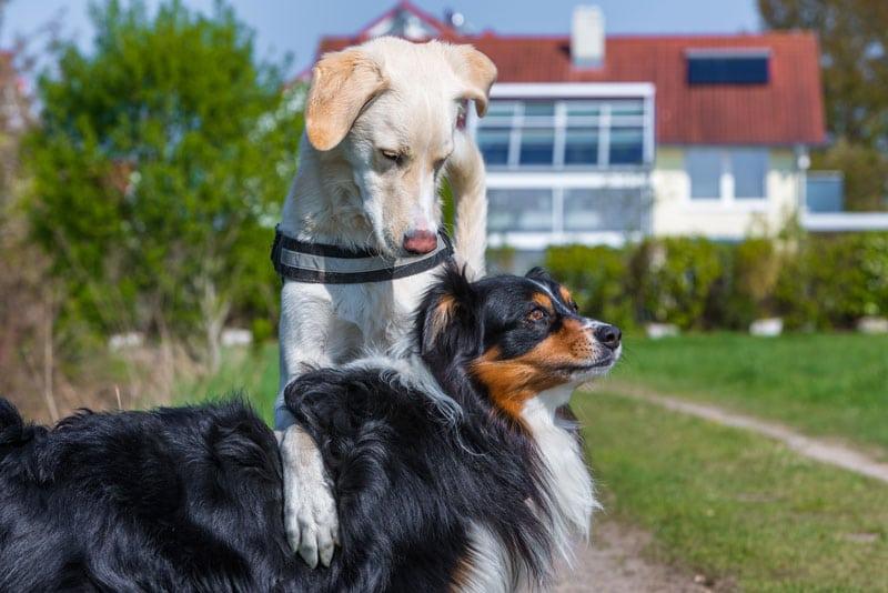 Hund zeigt Dominanz