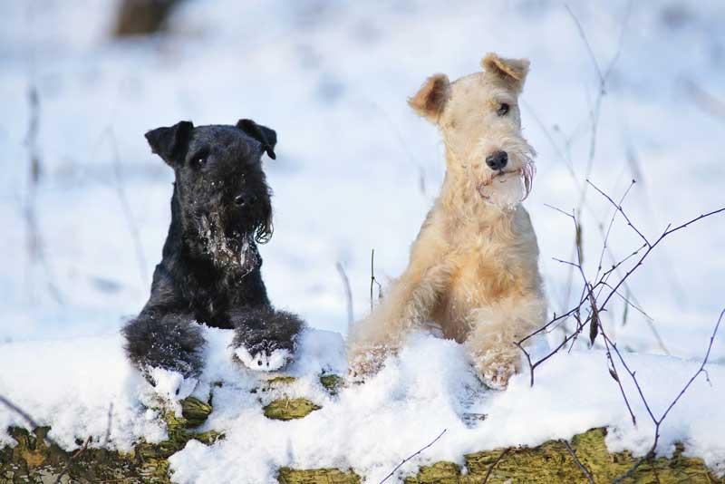 Farben Lakeland Terrier