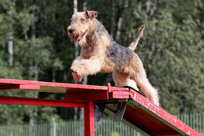 Lakeland Terrier Action
